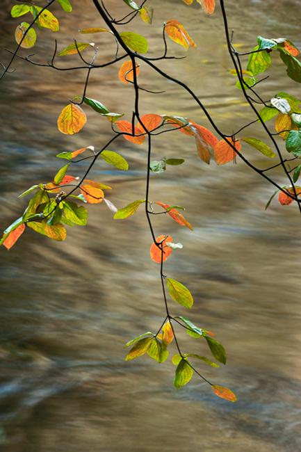 dogwood, trees, merced, river, merced river, yosemite, sierra, water, fall, ca, california, mountains, photo