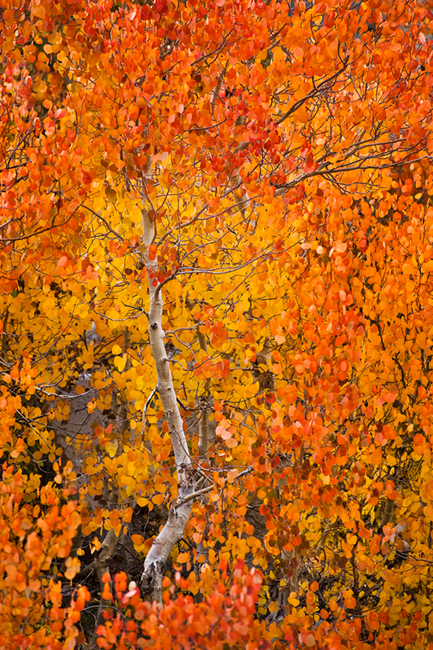 eastern sierra, sierra, fall, fall color, ca, california, trees, sunset, aspens, rock creek, mountains, owens river valley, owens river, photo