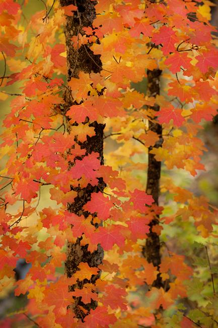 fall colors, fall, trees, maples, southwest, west fork, sedona, arizona, az, red rock, photo