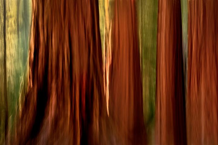 yosemite, mariposa grove, sequoia, mountains, sierra, trees, impressions, movement, northern california, california, ca, photo