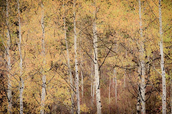 mountains, Wyoming, wy, jackson, Tetons, Grand Teton Park, landscape, Fall, trees, aspens, fall color, impressions, blur, sunrise,  targhee, idaho, id, photo