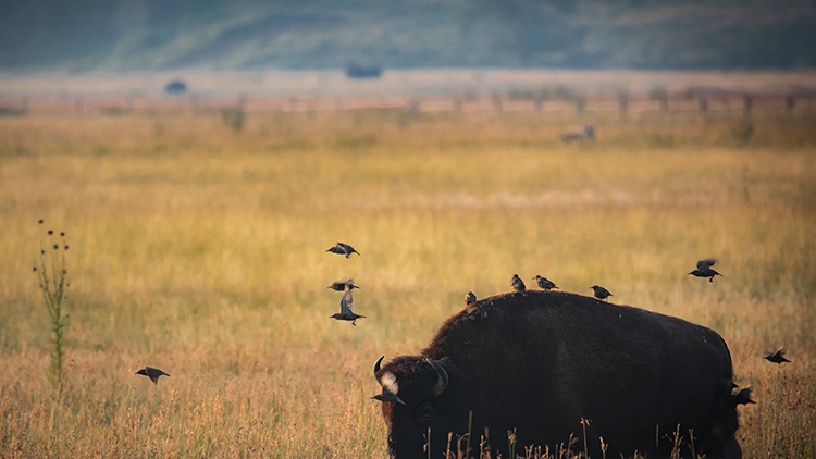 grand teton national park, tetons, snake river, snake, river, mountains, trees, water, color, aspens, sunset, moon, clouds, bison, birds, buffalo, wildlife, photo