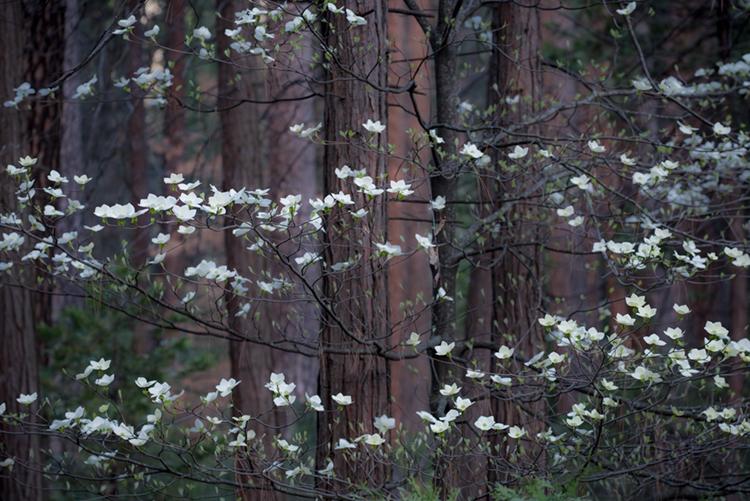 yosemite, national park, park, trees, dogwood, sierra, california, ca, spring, photo