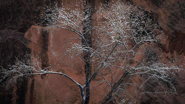 Zion, Zion National Park, ut, utah, red rock, trees, fall, colorado plateau, southwest, mountains, sandstone, zion canyon, weeping rock, cottonwood, trees, water, waterfall, winter, snow, photo