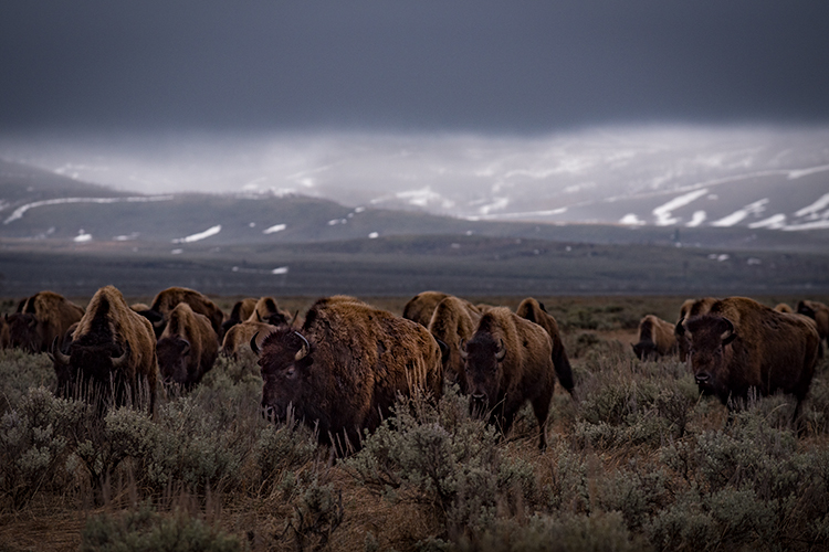 grand tendon national park, tetons, oxbow bend, snake river, snake, wyoming, wy, river, mountains,  grand teton national park,  tetons, buffalo, bison, photo