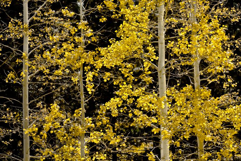 yosemite fall colors, yosemite, sierra, mountains, ferns, aspens,  ca, california, fall, photo