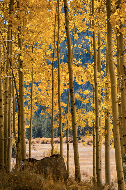 aspens, lee, vining, creek, sierra, ca, fall, california, eastern, trees, photo