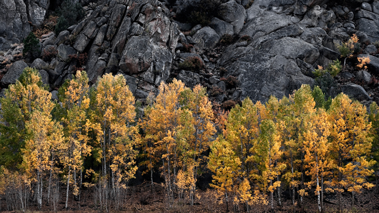 eastern sierra, sierra, aspens,  rock creek, fall, ca, california, trees, photo