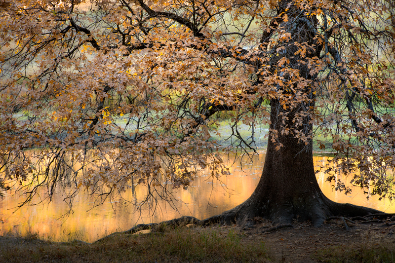 black oaks, valley, water, merced, merced river, yosemite, valley, mountains, sierra, trees, sunset, light, ca, california, reflections, fall, black, oak, photo