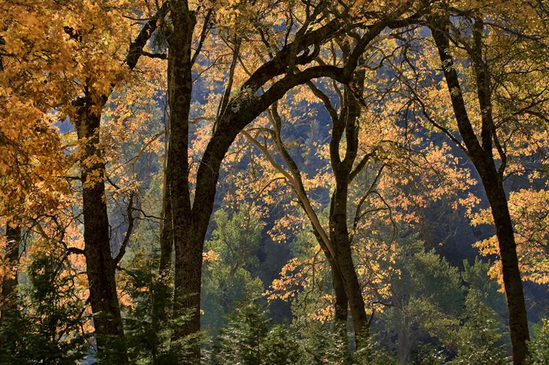 black oaks, black, oaks, fog, yosemite, ca, california, sierra, mountains, water, cooks, meadow, trees, winter, fall, photo