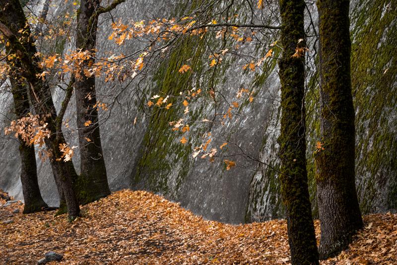 black oak, trees, fall, mountains, sierra, yosemite, fall, color, ca, california, leaves, photo