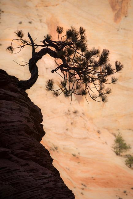 trees, fall, fall color, zion, mountains, utah, ut, southwest, bonsai, pine, pinion, photo