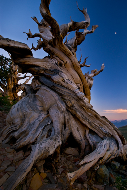 bristlecone, pines, big pine, ca, california, bristlecone pine reserve, forest, sierra, eastern, trees, sunset, moonset,  schulman grove, photo