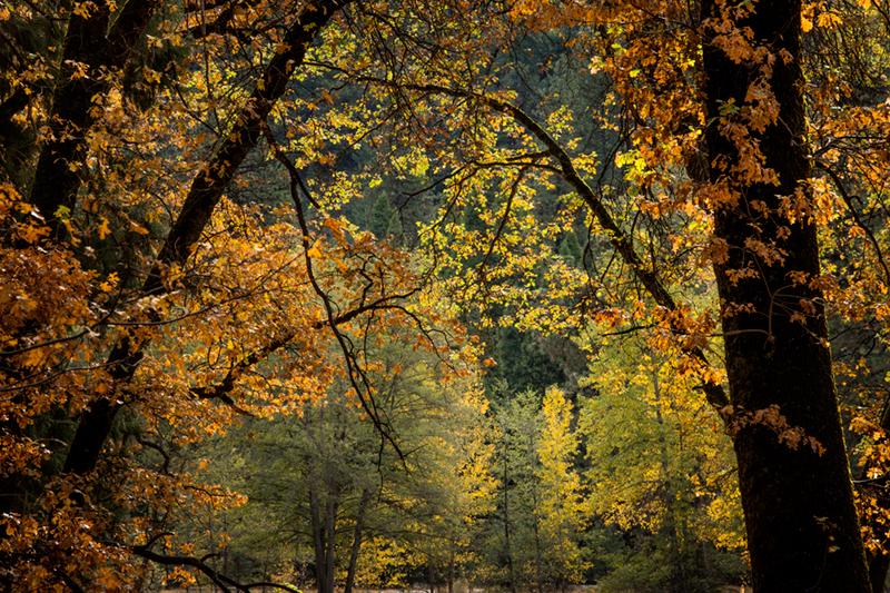 cooks meadow, cooks, trees, black, oaks, fall, fall color, sierra, mountains, yosemite, ca, california,, photo