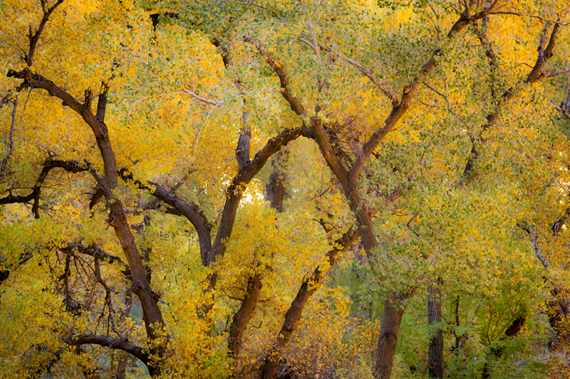trees, fall, fall color, zion, mountains, utah, ut, southwest,  cottonwoods, photo