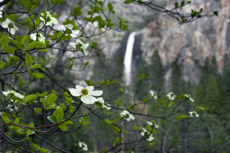 <p>dogwoods, trees, bridalveil, water, waterfall, valley view, ca, calorfrnia, spring</p>, photo