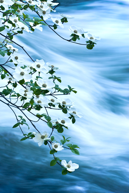Merced River, Yosemite Valley, merced, river, yosemite, valley, ca, california, sierra, mountains, trees, dogwood, valley view, spring, photo