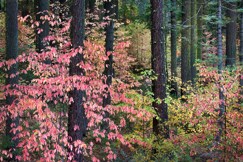 <p>dogwoods, valley view, view, fall, ca, california, sierra, mountains, valley, yosemite, colors, leaves, trees</p>, photo