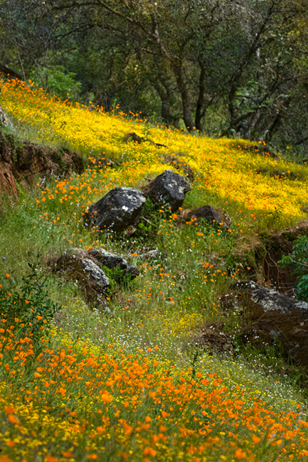 wildflowers, poppies, savages, ca, california, hite, cove, merced, river, canyon, spring, photo
