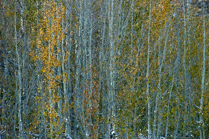eastern sierra, sierra, aspens, fall, fall color, ca, california, trees, storm, winter, sunrise, bishop, north, lake, mountains, photo