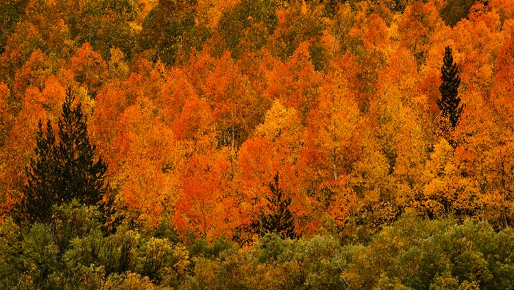 eastern sierra, sierra, fall, fall color, ca, california, trees, aspens, mountains, south lake, photo