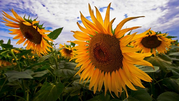 sunflower, plants, ca, california, northern, photo