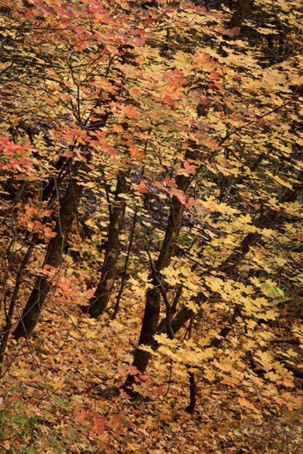 trees, fall, fall color, sedona, az, arizona, mountains, maples, oaks, west fork, southwest, photo