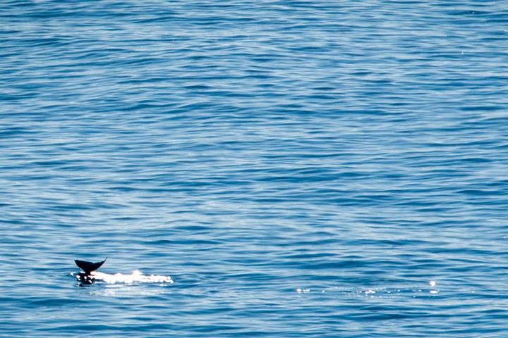 coast, coastal, pacific, big sur, sur, big, surf, waves, highway 1, hwy 1, ca, california, whale, breach, ocean, water, photo