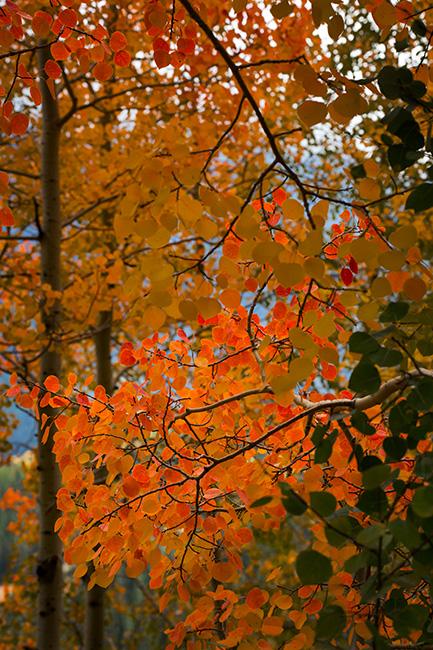 Rocky Mountains, San Juan mountains, rockies, san juans, fall, autumn, color, trees, aspen, pine, fir, colorado, co, owl creek, ridgeway, , photo