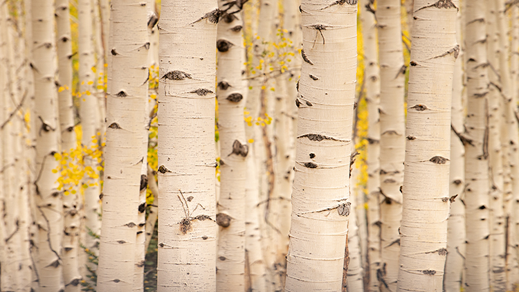 colorado, co, aspens, fall, colors, fall colors, san juan, san juan mountains, mountains, rocky mountains, flora, sunrise, sunset, autumn, ridgeway, our, durango, purgatory, crested butte, kebler pass, photo