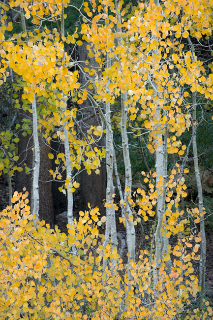 Sierra, fall. color, fall colors, mountains, trees, landscape, Bishop, aspens, california, south lake, photo