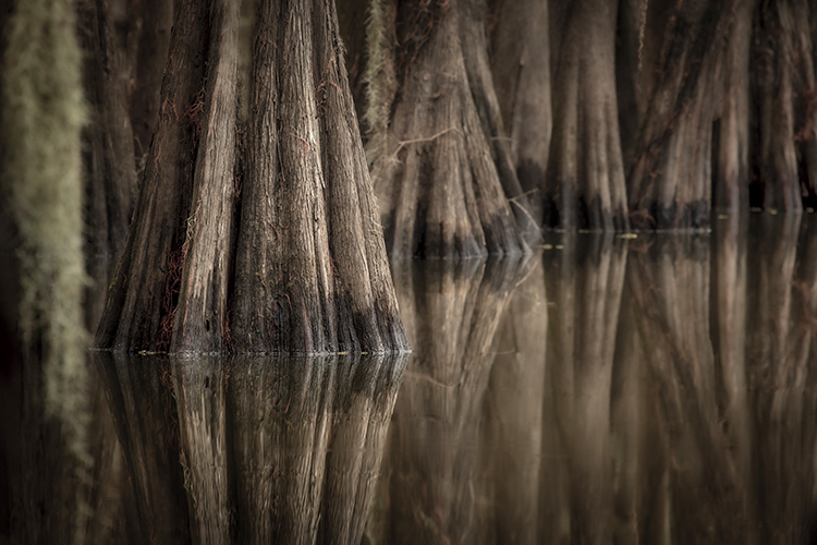 cado lake, texas, tx, bald cypress, cypress, trees, moss, spanish moss, bayou, marsh, swamp, la, Louisiana, caddo lake, , photo