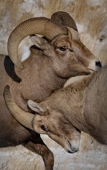 grand teton national park, tetons, snake river, snake, river, elk refuge, mountains, trees, water, color, dawn, atmospherics, big horn sheep, sheep, wildlife, animals, photo