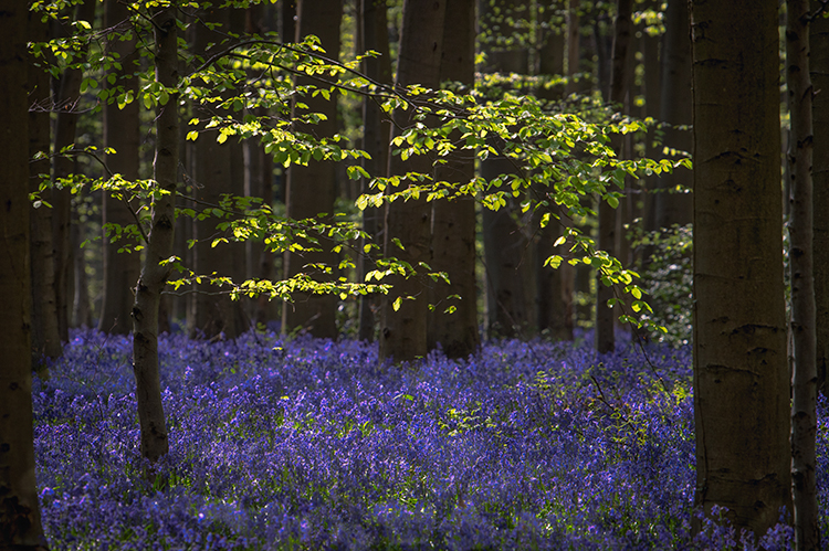 flora, bluebells, blue forest, belgium, halle, hellebros, hyacinth, spring, wildflowers, trees, dreams, dreamy, mood, europe, forest, predawn, sunrise, woods, belgium, brussels, photo