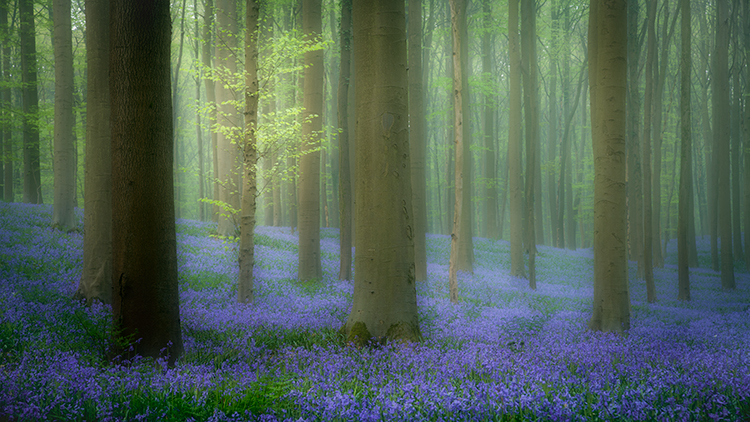flora, bluebells, blue forest, belgium, halle, hellebros, hyacinth, spring, wildflowers, trees, dreams, dreamy, mood, europe, forest, predawn, sunrise, woods, photo