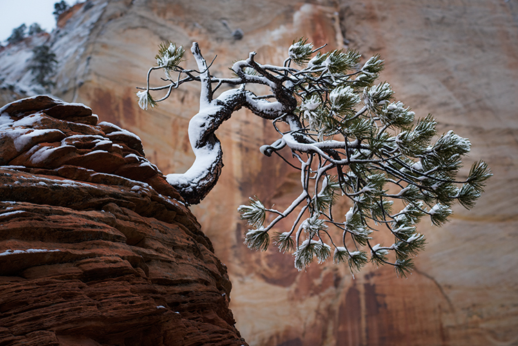 Zion, Zion National Park, ut, utah, red rock, trees, snow, spring, colorado plateau, southwest, mountains, pinion pine, pinion, pine, photo