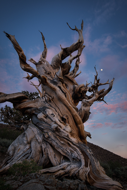 bristlecone pine, trees, moonrise, moon, sunset, landscape, white mountains, sierra, mountains, california, ca, owens valley, 395, big pine, bristlecone pine reserve, forest, bristlecone, pines, big p, photo