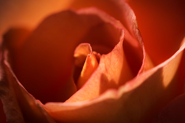 California, ca, roses, country lady, macro, flora, plants , photo