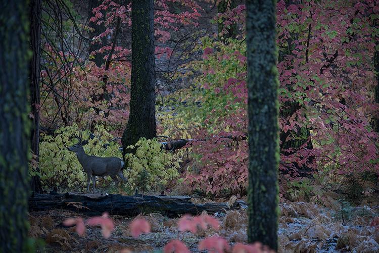 Yosemite, Sierra, mountains, yosemite valley, fall, merced river, merced, water, maples, fall color, fall, dogwoods, deer, wildlife, flora, fauna, photo