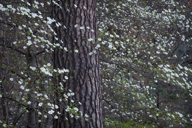 yosemite, national park, park, trees, dogwood, sierra, california, ca, spring, photo