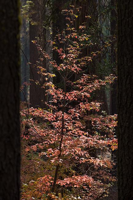 Yosemite, Sierra, mountains, yosemite valley, fall, fall color, fall, dogwoods,  wildlife, flora, , photo