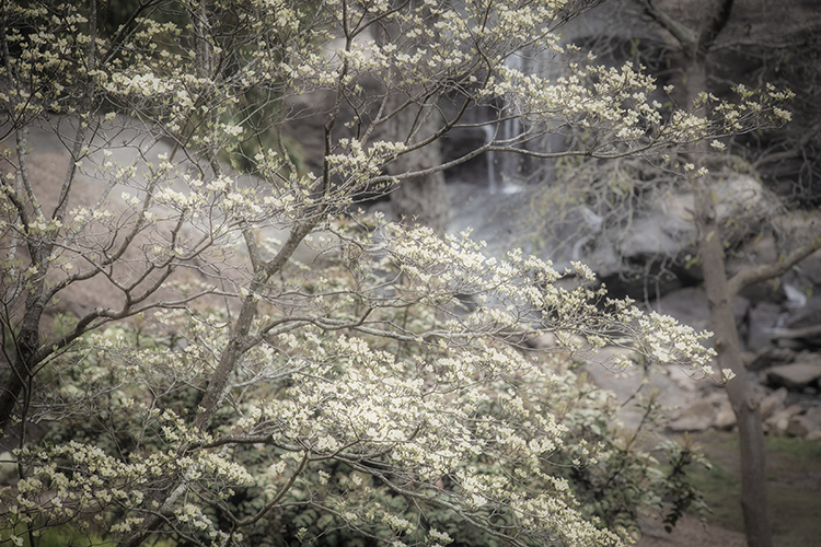 out, south carolina, spring, dogwoods, falls park, appalachia, smoky mountains, water, trees, falls, photo