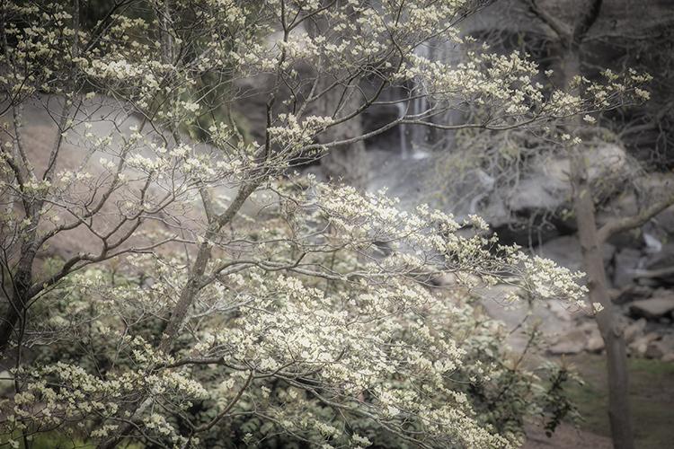 out, south carolina, spring, dogwoods, falls park, appalachia, smoky mountains, water, trees, falls