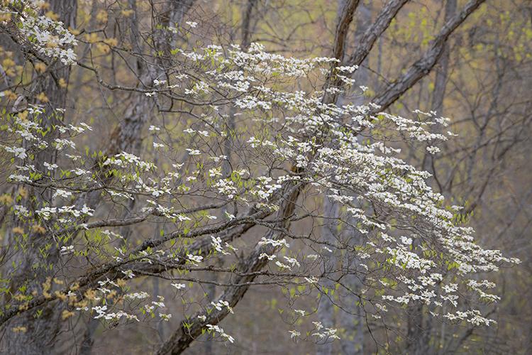 great smoky mountains, spring, wildflowers, flora, appalachian, Tennessee, north carolina, east usa, dogwood