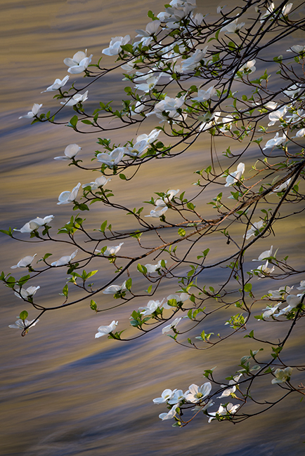 merced river, merced, yosemite, valley, mountains, sierra, trees, sunrise, light, spring,  ca, california, water, dogwoods, photo