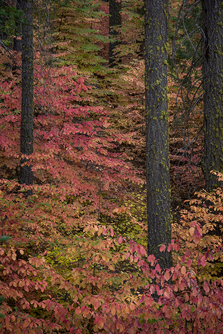 Yosemite, Sierra, mountains, yosemite valley, fall, fall color, fall, dogwoods,  wildlife, flora, , photo