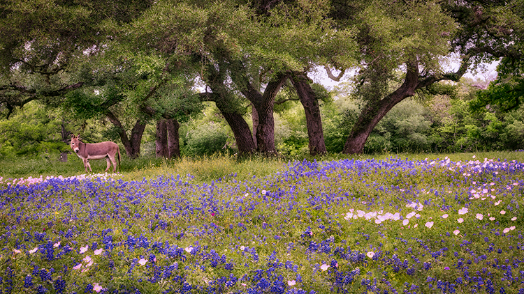 texas, tx, wildflowers, blue bonnets, indian paint brush, texas hill country, flora, lupine, flora, oaks, spring, photo