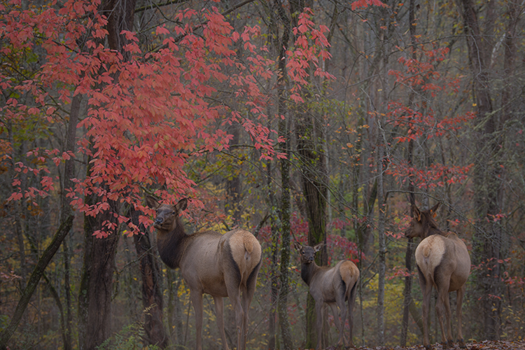 great smoky national park, smokys, mountains, fall, water, nc, tn, north carolina, tennessee, maples, colors, national, park, flora, trees, oconaluftee, river, fog, sunrise, fog, elk, photo
