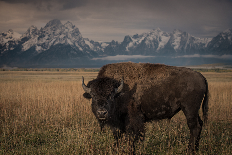 grand teton national park, tetons, snake river, snake, river, mountains, trees, water, color, aspens, clouds, fog, dawn, atmospherics, buffalo, bison, wildlife, animals, photo