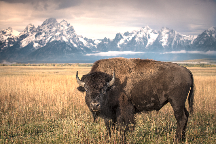 grand teton national park, tetons, snake river, snake, river, mountains, trees, water, color, aspens, sunset, moon, clouds, bison, birds, buffalo, wildlife, photo